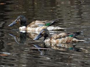 2019年3月10日  ・♂幼羽⇒第1回生殖羽に移行中と思われる個体。 近隣の公園で。