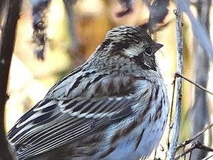 ・2019年1月2日 柏の葉周辺  ・頭側線が見られるが、冬羽では全体が淡くなり、上面も灰色味がかかる。 顔の赤色が日陰のため出なかったのは残念。