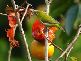 2006年10月28日 牛久自然観察の森  ・観察舎へ行くと、柿の木に向かってカメラを構える人が一人。何を狙っているのかと尋ねると、メジロという。それではと一緒させてもらうことで、機材を肩から下したとたんにメジロがやって来た。