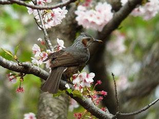 ・2013年4月5日 あけぼの山公園 ソメイヨシノ