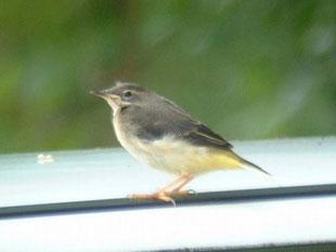 ・2004年7月17日 日光中禅寺湖、ニ荒神社境内    ・まだ尾が短い幼鳥。 嘴にも雛の面影が残っている。