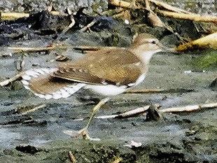 ・2014年9月5日 葛西臨海公園  ・尾羽の開きが特徴的。