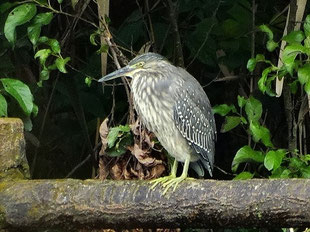 ・ササゴイ幼鳥 2017年10月17日 柏の葉公園