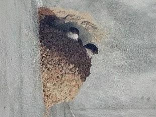 ◎ イワツバメ 2018年6月18日 柏の葉周辺 ・2羽揃っているところに、さらに1羽が飛来したこともあった。 たぶんヘルパーの若鳥。