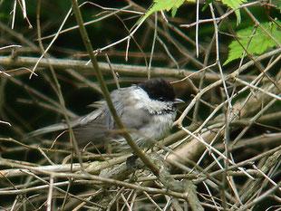 ・2006年6月24日 伊香保森林公園  ・翼帯がない。
