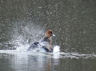 ・2018年11月7日 柏の葉第2調整池  ・ハデな水浴び (11月7日)