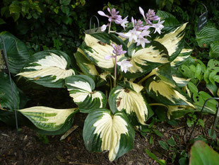 "Hosta ""Reversed Patriot"""