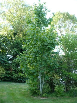 Acer pensylvaticum