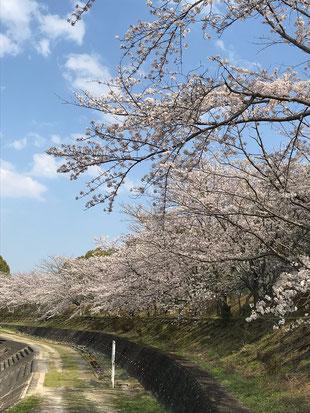 矢合川の桜が今年もきれいに