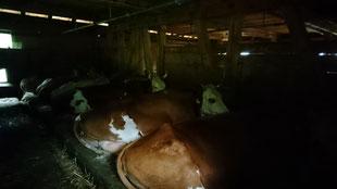 Die Kühe geniessen es sichtlich im warmen Strohbett zu liegen (20.08.2019)
