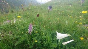 Auf unseren artenreichen Weiden wachsen auch seltenere Pflanzen wie zum Beispiel das Männertreu oder die Paradieslilie, auch 'Fluelilie' genannt (09.07.2019)