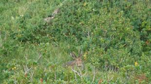 Zur Artenvielfalt der Tierwelt auf der Alp Tschingelfeld tragen auch die Feldhasen bei (14.08.2019)