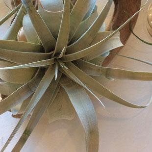 キセログラフィカ植物グリーン豊富なCOMFYコンフィ