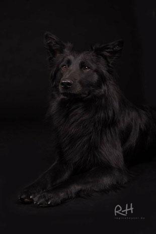Ben, kroatischer Schäferhund