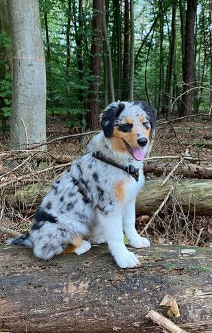 Caylu, australian Shepherd