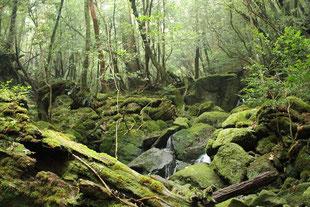 瑞々しい苔が広がる梅雨明け(白谷雲水峡ガイドツアー)