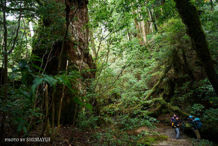 巨樹・釈迦杉,太忠岳,天文の森,屋久島,11月,ガイドツアー