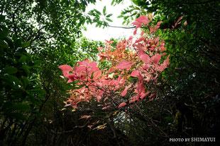 11月頃は、紅葉も,太忠岳,ガイドツアー,屋久島,11月