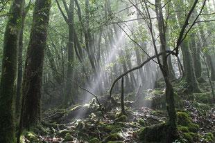森に現われる天使の梯子(白谷雲水峡ガイドツアー)