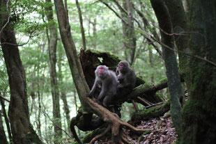 春先はカワイイ子猿を連れてます(白谷雲水峡ガイドツアー)