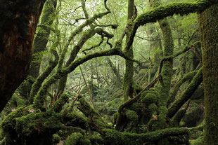 もののけ姫の森に吸い込まれる(白谷雲水峡ガイドツアー)