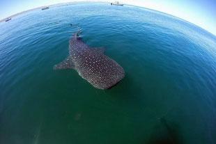 Tiburón Ballena en la Paz