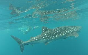 Tiburón Ballena México en La Paz