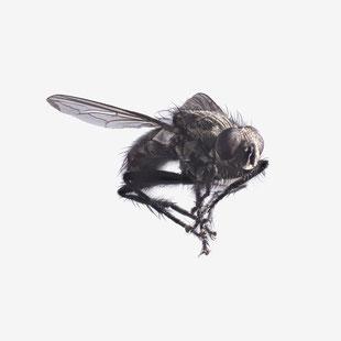 Fliege, Fleischfliege, Fly