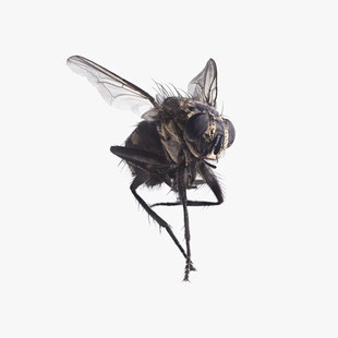 Fliege, Fly