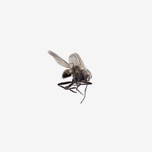 Fliege, Stubenfliege, Fly