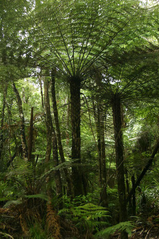 Baumfarne tree ferns