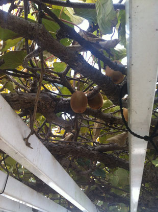 収穫後のキウイをリンゴと一緒に袋に入れて数日間おいておきます。より一層甘くておいしいキウイフルーツになるんです!