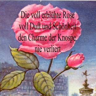 Schönheit Rose Stadt