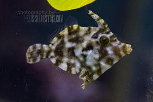 Feb. 12, Tangfeilenfisch