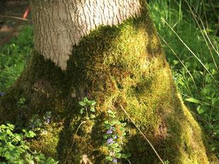Ein Baumstamm ist an seinem Fuß mit Moos und Gundelrebe umwachsen.