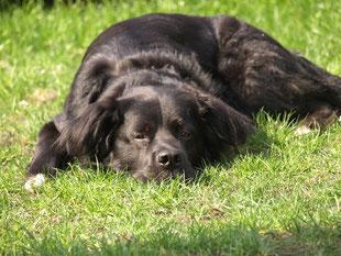 Ein schwarzer Hund liegt entspannt im Gras und wartet auf seine Kräuterkekse.