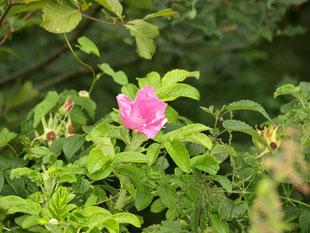 Rosa canina Eine zarte, aufgeblühte Wildrose wurde im Bild festgehalten.