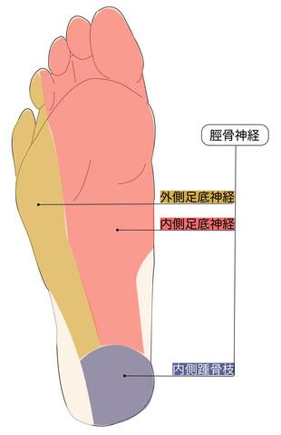 脛骨神経分布