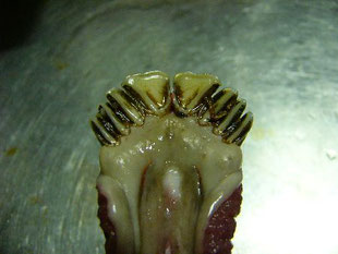 シカの前歯