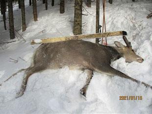 生殖器の確認はしなかった。スキーの長さ160センチ写真