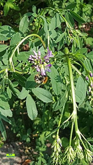 Wertvolles Unkraut: Lila Blüten der Luzerne mit einer Ackerhummel als Besucherin / Bestäuberin von K.D. Michaelis