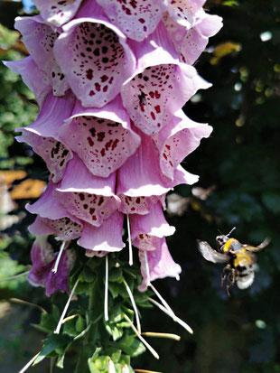 Rosa Fingerhutblüten mit Hummelkönigin im Anflug von Marc Wettering