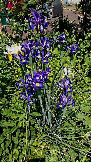weiß-gelbe und dunkelblau-gelbgefleckte Iris / Schwertlilien von Carola Hauf