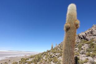 Cactus milenaire salar coipasa