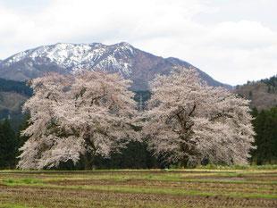 200413黒岩の夫婦桜