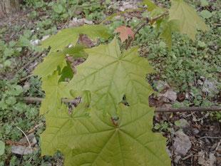 Ahorn, essbare Blätter im Frühjahr