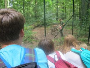 Wolfsfütterung im Tierpark Kunsterspring