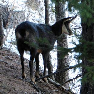 Chamoix dans la forêt