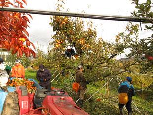 柿の収穫風景の画像 オレンジ色が紅柿の木