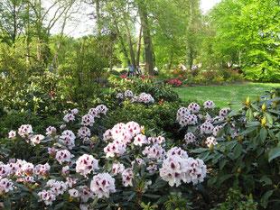 heller Rhododendron im Wald